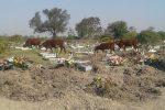 vacas cementerio 05
